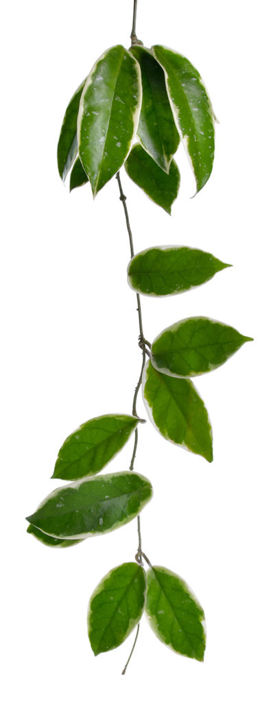 Green leaves connected by one stem feeling of calm and nature